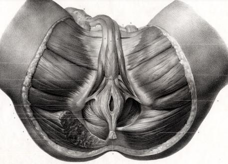 Muscles du Bassin Region Ano-Genitale  1831