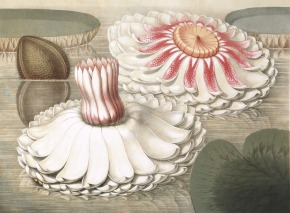 "William Sharp (1803-1875); ""Intermediate Stages of Bloom"" from [Victoria Regia; or The Great Water Lily of America, by John Fisk Allen]; 1854; Chromolithograph on paper; Amon Carter Museum, Fort Worth, Texas, Purchase with funds from the Ruth Carter Stevenson Acquisitions Endowment; 1999.33.D"